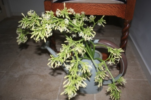 Papaya flowers in watering can