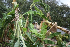 The Banana trees couldn't withstand the wind.