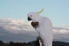 Cockatoo eating passionfruit (1)