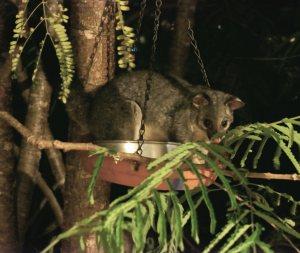 Possum sitting in bird feeder