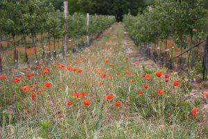 Poppies in field, France