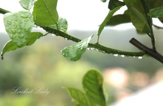 Web,-Watermark_Raindrops-on-Citrus