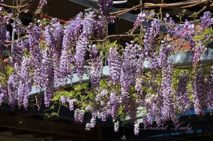 Wisteria 2nd year flowering