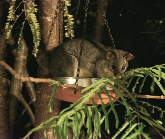 Possum sitting in bird feeder