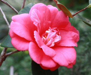 Web_Great-Eastern-camellia