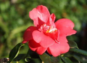 Web_Great-Eastern-pink-camellia