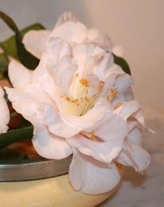 Web_white-camellia