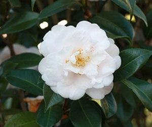 Web_white-camellia2