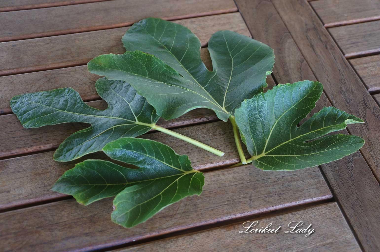 ww_fig-leaf