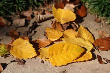 Web-autumn-birchleaves9475
