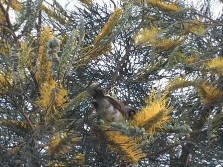 web_wattle-bird-grevillea