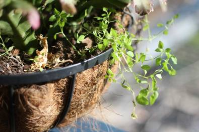Web_chickweed-basket