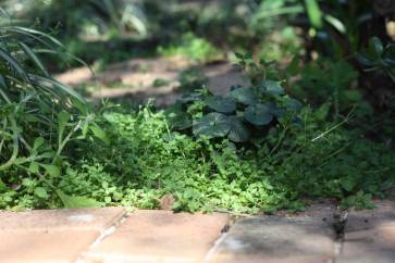 Web_chickweed-in-bricks