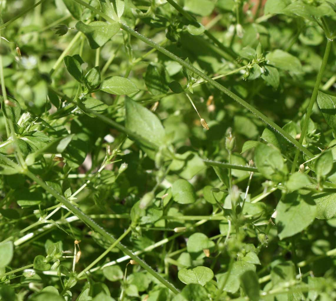 Web_chickweed-stalks